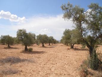 jarama olive grove